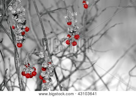 Red berries grapes