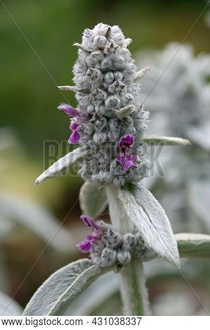 Purple Lambs Ears, Stachys Byzantina Variety Silver Carpet, Rarely Seen Flowers And Woolly Leaves In
