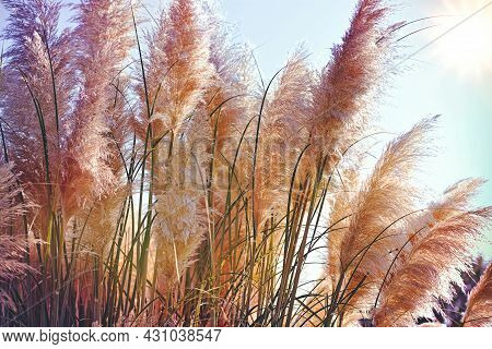 Beatutiful Nature, Reed In The Wind, High Dry Seeds Of Reed - Cane, Dry Reed, Dry Cane In Meadow