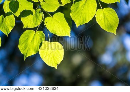 Branches With Spring Leaves Common Aspen, Populus Tremula. Floral Background With Green Spring Leave