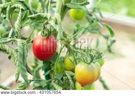 Home Grown Tomato Vegetables Growing In Greenhouse. Vegetable Growing. Farming, Gardening Concept -