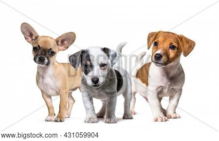 Group of puppies, dogs, Jack russel terrier and chihuahua standing in a row, isolated on white