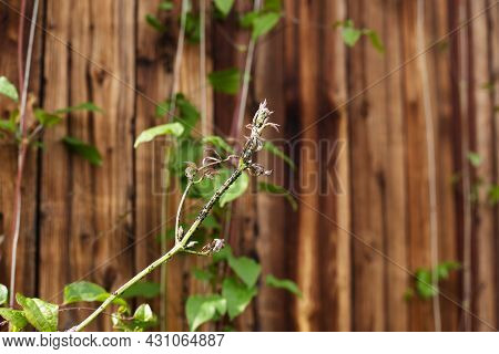 Stems Of A Flower Of Clematis In Aphids Against A Background Of A Wooden Wall. The Problem Of Pests