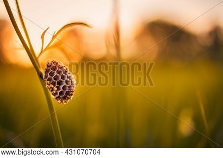 A Nest Of Wild Wasps On A Stalk. Wasp On Nest Close-up. Green Grass In The Meadow On A Summer Day. A
