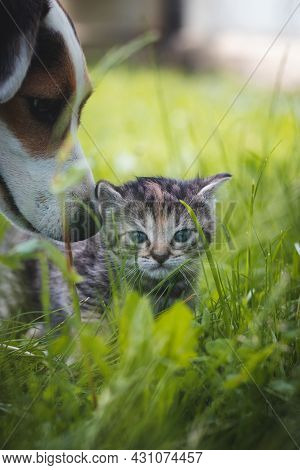 Little Tabby Kitten With Blue Eyes Runs In The Tall Grass And Discovers A New World With His Eyes. C