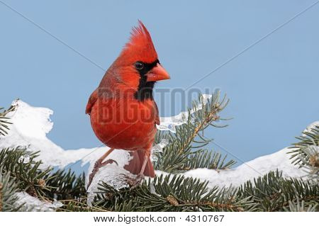 Male Northern Cardinal (cardinalis cardinalis) on a Spruce branch covered with snow with a blue sky background poster