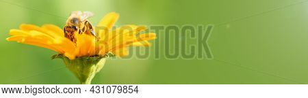 .bee And Flower. Close Up Of A Large Striped Bee Collecting Pollen On A Yellow Flower On A Sunny Bri