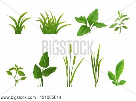 Decorative Grasses Young Green Plants Cereals Seedlings Leaves Realistic Set On White Isolated Vecto