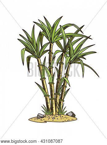 Cane sugar. Sugarcane plant. Engraving hand drawn natural organic food or natural ingredient. Fresh sugar bamboo