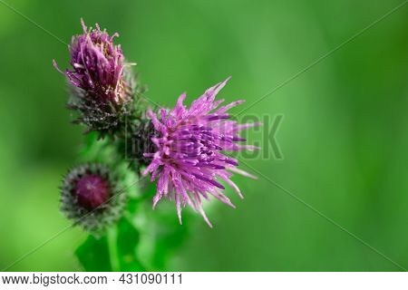 Bees Pollinating Thistle Flowers In Summertime Macro