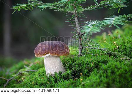 Amazing Edible Mushroom Boletus Edulis Known As Penny Bun In Moss Under Little Fir Tree - Czech Repu