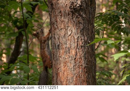 A small squirrel on a tree branch among the leaves on a bright day. Red squirrel sits on a tree branch in park