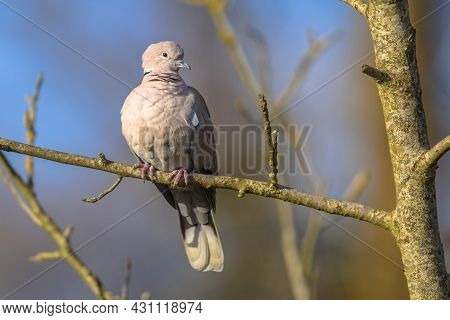 Eurasian Collared Dove (streptopelia Decaocto) Bird Perched On Branch In Tree In Ecological Garden A