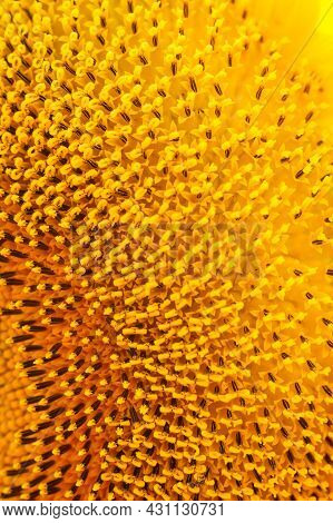 Blooming Sunflower Head, Pistils And Stamens Close-up. Floral Yellow Pattern. Abstract Background, T