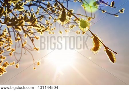 Warm Spring Sunset. A Branches Of A Blossoming Tree Against The Evening Sky. Orange Spring Sun And T