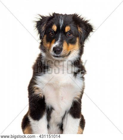 Black and tan Puppy Miniature American Shepherd, fourteen weeks old