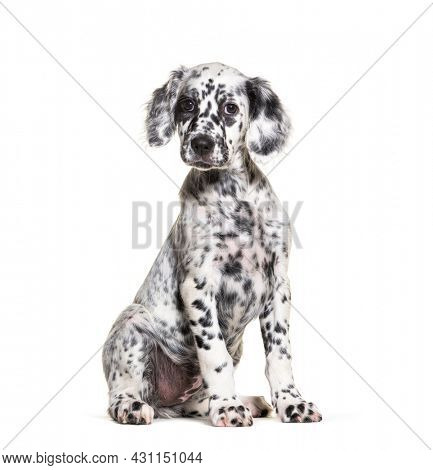 Sitting Puppy english setter spotted black and white, two months old, Isolated