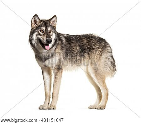 Standing Northern Inuit Dog panting, isolated on white