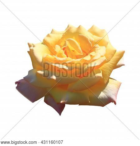 Art Photo Rose Petals Isolated On The White Background. Rose Flower Closeup. For Design, Texture, Ba