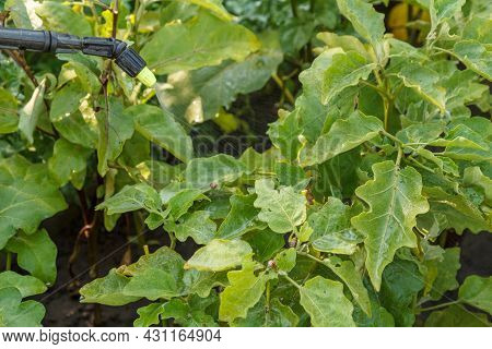 Protecting Potatoes Plants From Colorado Beetles With A Pressure Sprayer In The Garden