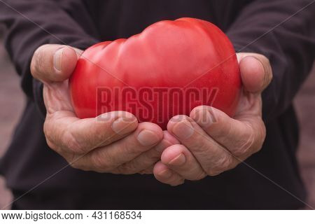 Large Red Tomato. A Farmer Holds A Tomato In His Hand To Show The Large Size.
