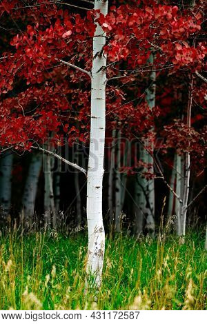 Aspen trees with white trunks during summer lush green forest wilderness