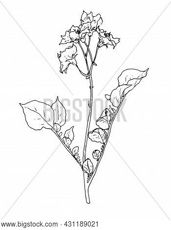 Vector Plant Potato. Painted Potato Stalk With Leaves And Flower In Sketch Style, Isolated Black Out