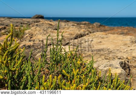 Close-up Of The Mediterranean Sea Fennel Plant, Crithum Maritimum, With The Mediterranean Sea Out Of
