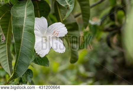 A Fully Bloomed White Hibiscus Rosa Sinensis Flower Under The Mango Leaves In The Garden Close Up Wi