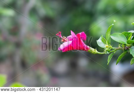 Indian Joba Or Hibiscus Rosa Sinensis Flower In The Garden Close Up With Soft Bokeh Background