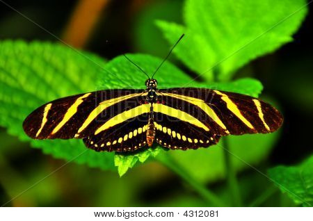 zebra butterfly (heliconius charitonius) with wings outstretched resting poster