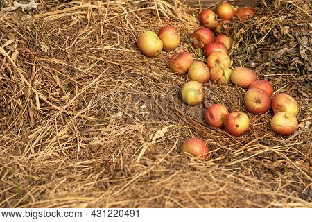 Fallen Apples Are Lying On The Hay. The Harvested Fruit Crop. Rotten Apples Are Placed On The Ground