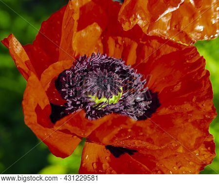 Red Flower Of  Blooming Poppy In Dew Drops Close-up. Petals, Stamens And Pistils Of A Scarlet Garden