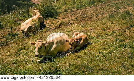 Light Brown Cows Lying Down With Calf On Alpine Pasture On Sunny Day In Summer