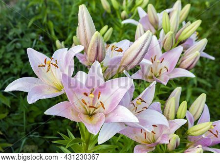 Beautiful Pink Lilies With Blooming Flowers And Buds In The Summer Garden. Flowers, Petals, Stamens