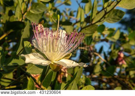 Close-up Of The Flower Of The Caper Plant, Capparis Spinosa, At Sunset. Island Of Mallorca, Spain