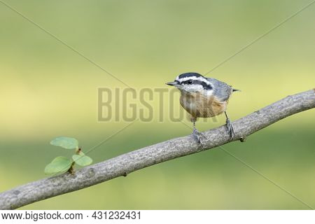 A Small Red Breasted Nuthatch Is Perched On A Branch In North Idaho.