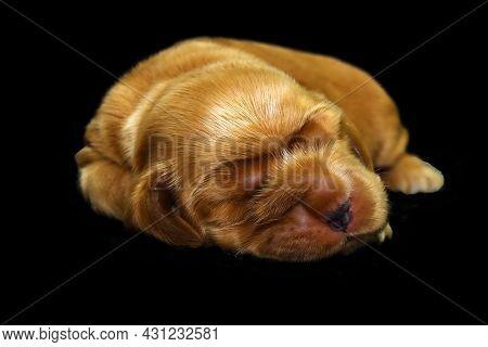 English Cocker Spaniel, Golden Puppy Week Old On Sofa. Little Golden Cocker Spaniel With Black Backg