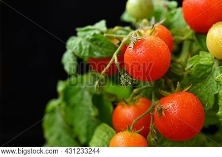 Cherry Bush Tomatoes - Healthy Vegetables - Healthy Food. Beautiful Fresh Red Tomatoes On A Twig.