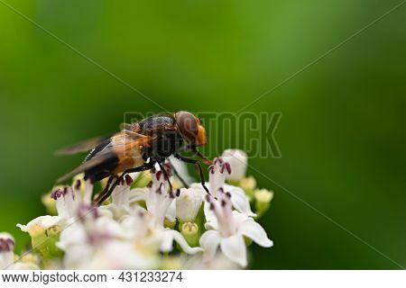 A Bee On A Flower. Beautiful Natural Colour Background.