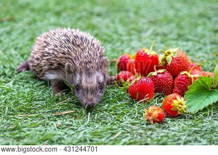 A Lot Of Strawberries In Summer And A Hedgehog