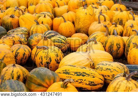 Defocus A Lot Of Yellow And Green Pumpkin At Outdoor Farmers Market. Colorful Stripe And Spot Variet