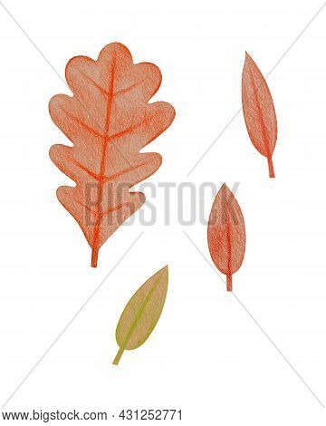 Hand Drawn Red Oak Leaf, Simple Oval Foliage With A Rough Texture. Isolated Plant Drawing With Color