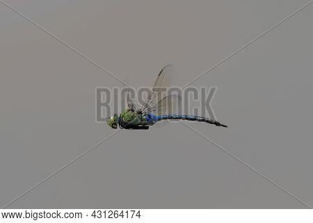 Adult Male Giant Darner In Flight. Ed Levin County Park, Santa Clara County, California, Usa.