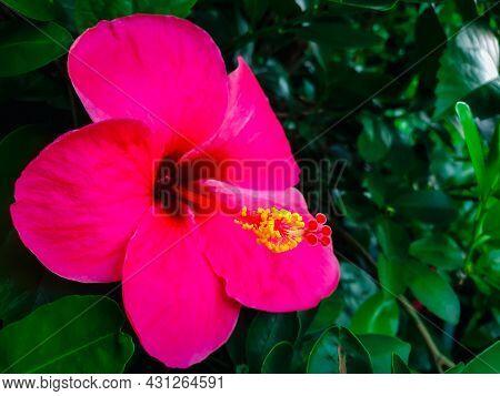 Flower (chinese Hibiscus, China Rose) In Garden
