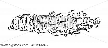 Fresh Ginseng Root, Traditional Chinese Medicine, Pharmacy And Cosmetic Industry, Vector Illustratio