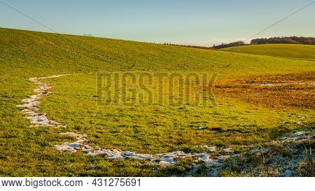 Snow Line And Roe Deer Grazing Green Hill On Winters Afternoon In Dumfries And Galloway, Scotland