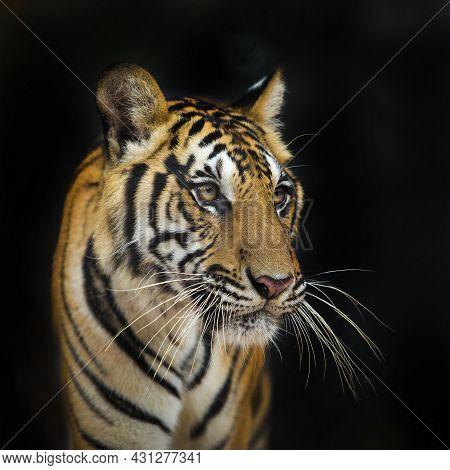 Nature, Green, Stripes, Safari, Wild, Royal, Front, Orange, Portrait, Aggression, Black, Predator, E