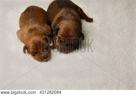 Two Puppies From The Same Brood: A Boy With A Blue One And A Girl With A Pink Ribbon Around Her Neck