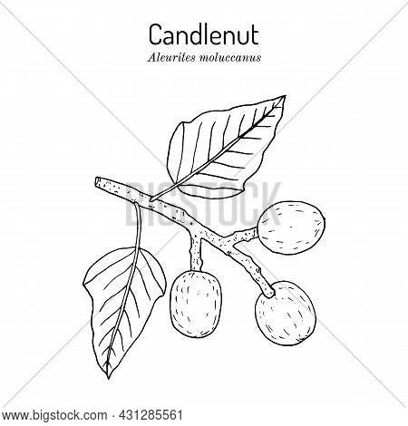 Candlenut Or Kukui Tree, Indian Walnut Aleurites Moluccana , State Tree Of Hawaii. Hand Drawn Botani